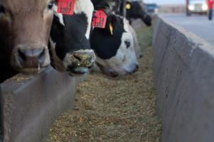 gmo-safe-for-animals