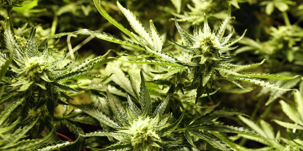 12 Secrets of Marijuana